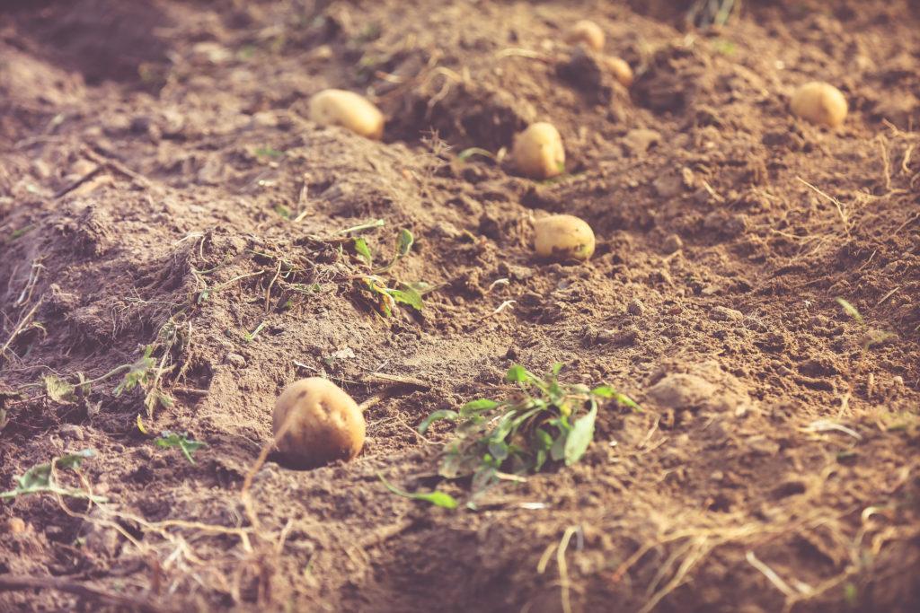 potato-field